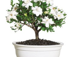 Spruce up your home with savings on live bonsai plants at Amazon
